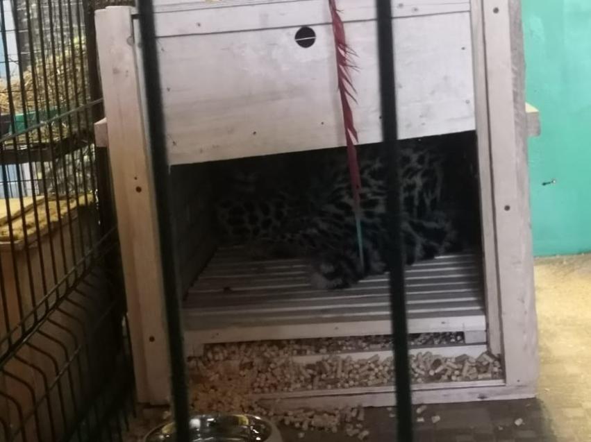Котенок амурского леопарда поселился в читинском зоопарке