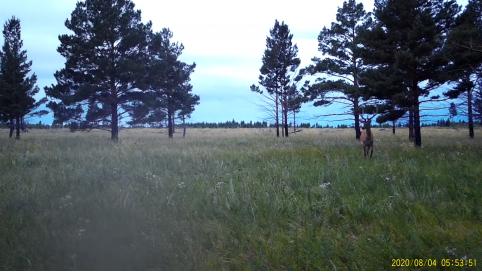 Изюбри появились в Цасучейском бору впервые за четверть века (видео)