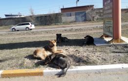 Читинская школьница написала в «Вечорку» по поводу бездомных собак в Сосновом бору