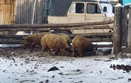 Более тысячи свиней уничтожат в Красночикойском районе из-за вспышки африканской чумы