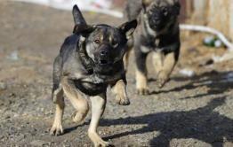 В Забайкалье возбудили уголовное дело по факту нападения собаки на 4-летнего ребенка