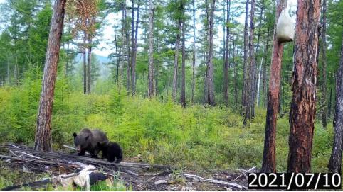 Коронавирус мог стать причиной роста популяции медведей в Забайкалье