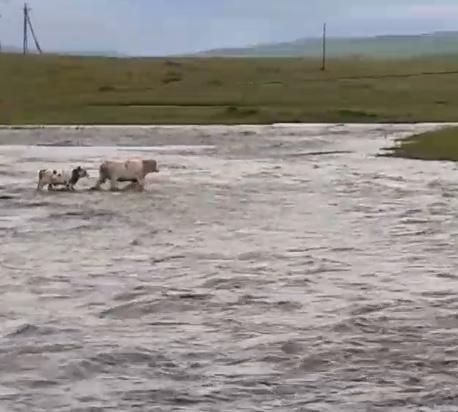 Сотрудник «Вечорки Экспедиции» спас телёнка, которого унесло течением в забайкальском селе