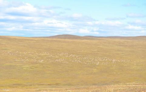 Из-за начавшегося влажного периода уменьшилась миграция дзеренов из Монголии в Забайкалье