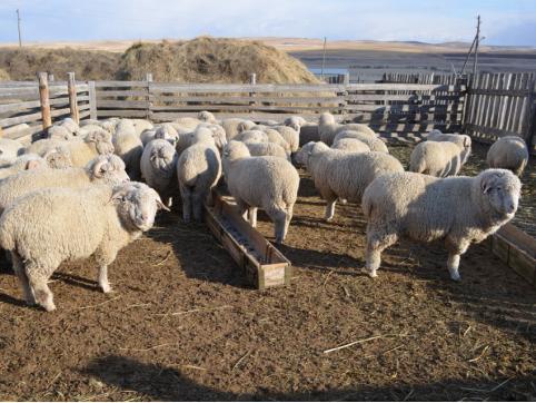 Пилотный проект по развитию овцеводства в Забайкалье готов к запуску
