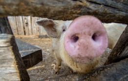 К фермерам в Читинском районе пришли из-за африканской чумы свиней, несмотря на то, что ферма не попадает в зону отчуждения