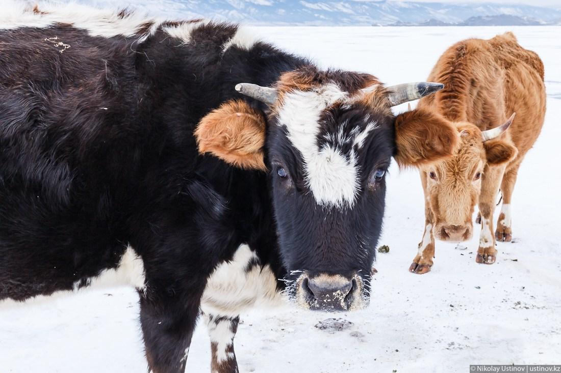 Супруги загнали во двор и забили чужую корову в Дульдургинском районе