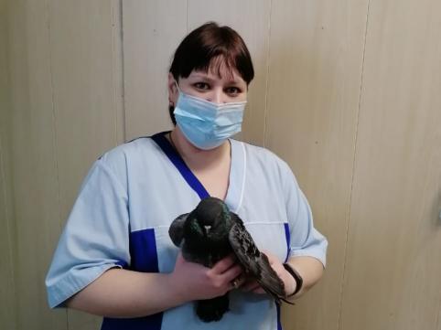 Ветеринары Шилкинской ветстанции сохранили жизнь замерзавшему голубю