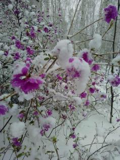 Резкоконтинентальное Забайкалье - оно такое. Майский снег припорошил цветущий багульник. Фото отправил наш читатель.