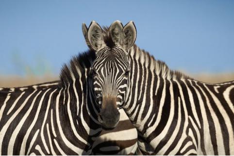 Фотография с зебрами вызвала спор пользователей сети во всем мире