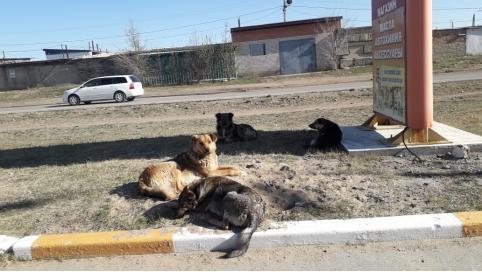 Читинец пожаловался на бездействие властей на сообщение о бродячих собаках