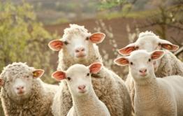 Забайкальскую баранину могут начать экспортировать в Иран