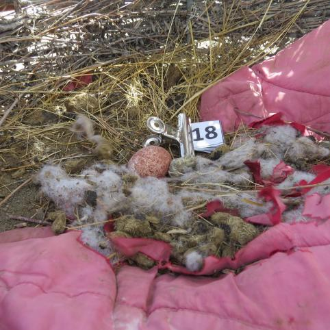 Балобаны в Даурском заповеднике начали нести яйца