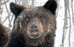Медведи-шатуны-каннибалы-алкоголики