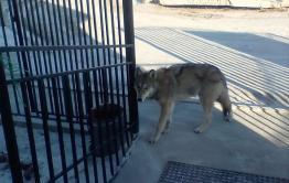 Час волка: Серые в селе Иван-Озеро
