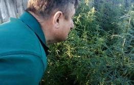 «Вечорка» нашла заросли конопли в самом центре Нерчинска. Видео.