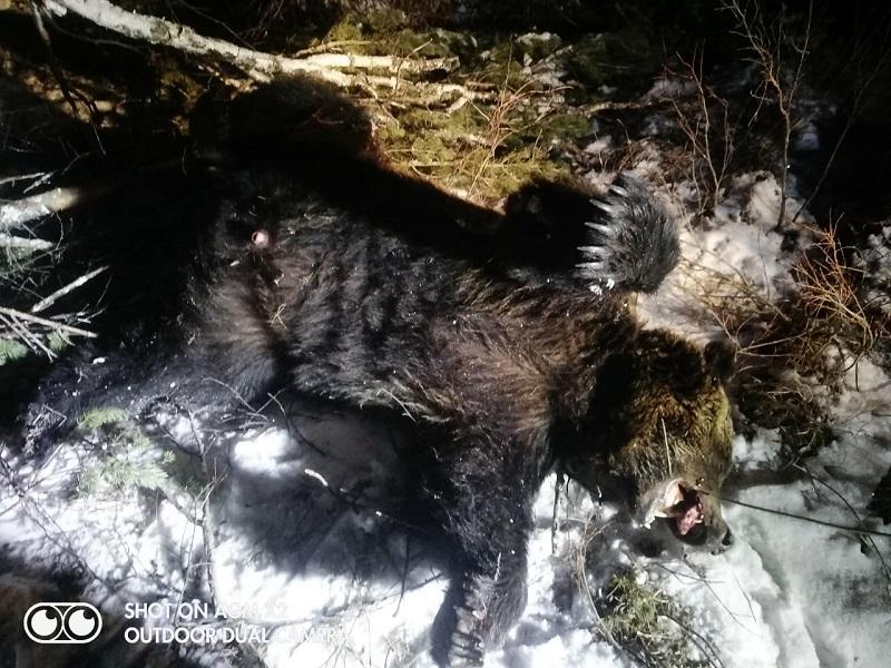Порядка 40 медведей видели в окрестностях Мензы в ноябре-декабре прошлого года