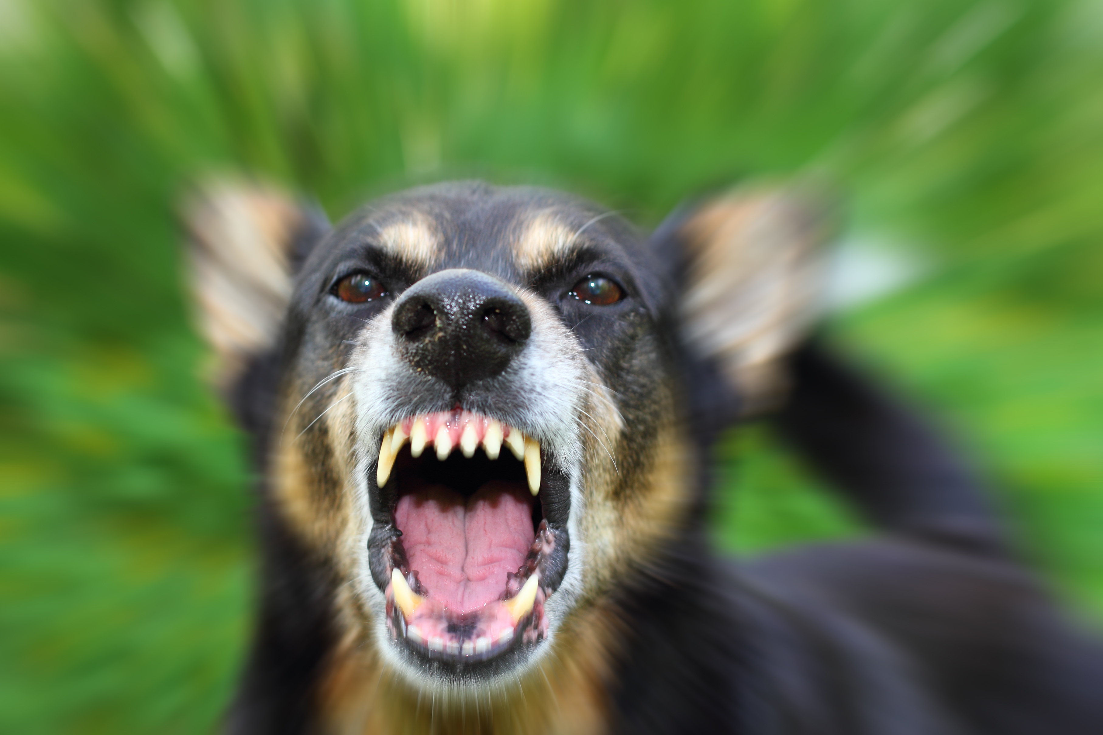 Собака напала на 9-летнюю девочку в Краснокаменске. Прокуратура начала проверку.