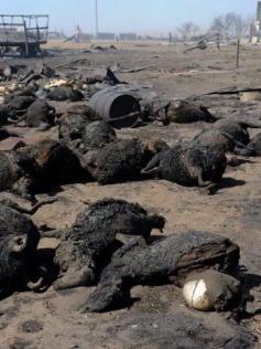 Мертвая скотина после пожаров в Забайкалье. 20 апреля