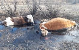 Коровы в Приисковой тонут в гудроне