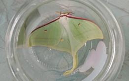 Уникальную бабочку нашли в Нерчинске