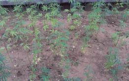 Житель Смоленки посадил 248 кустов конопли, поливал и пропалывал ее