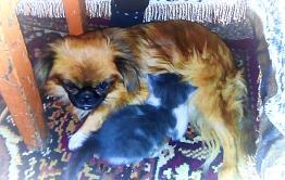 Загадки природы: забайкальская собачка породы пекинес выкормила двух котят