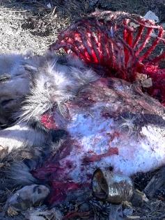 Все, что осталось от кавказкой овчарки, порванной медведем. Кука, 4 октября
