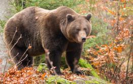 Медведь напал на экс-директора Буркальского заказника в Красном Чикое