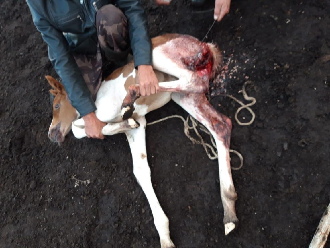 Волк подрал беднягу-жеребенка в Шилкинском районе. Благо его нашли и обработали рану. Должен выкарабкаться. 20.07.2020