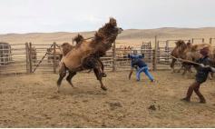 Еще бы не сопротивляться. Ведь верблюду хотят забубенить бубенчики. 26.04.2021. Фото Ц. Доржинимаева.