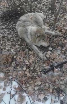 Волк, пойманный крестьянами в петлю в одном из районов Забайкалья. 25 ноября