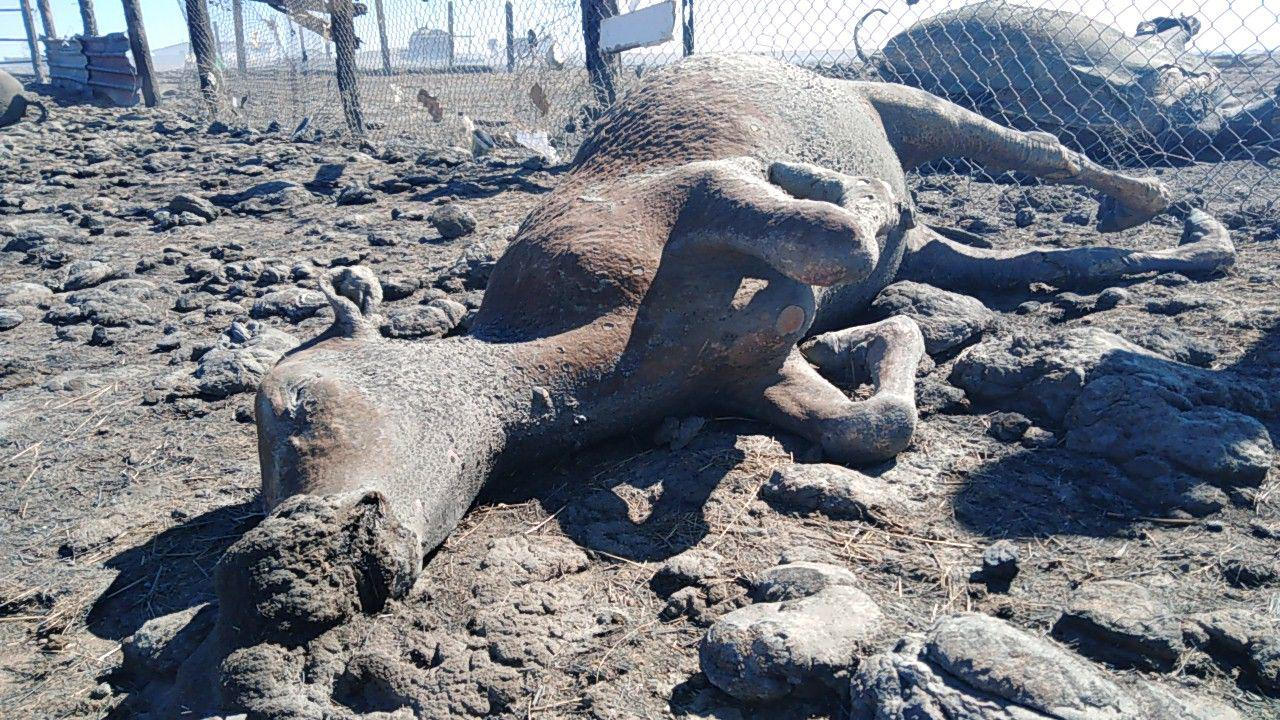Шок-видео: 160 овец и породистые кони сгорели на стоянке неподалеку от Ясной