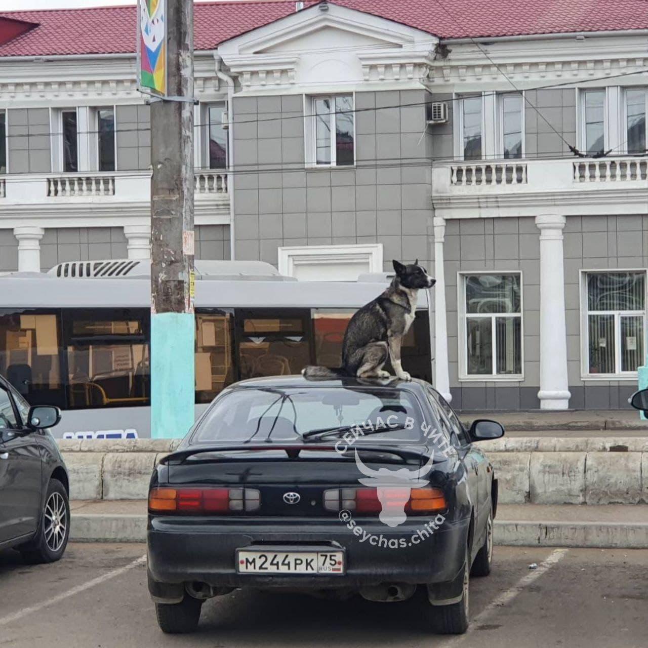 Пропавшая в Чите собака залезла на машину, чтобы ее поскорее нашли