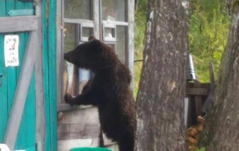 Медведь разгуливает по Куке и съедает собак