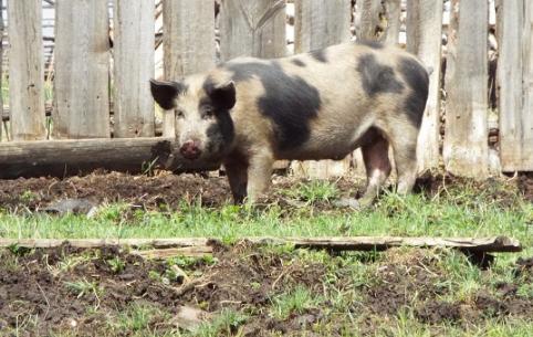 Еще один очаг чумы свиней обнаружен в Приморском крае.