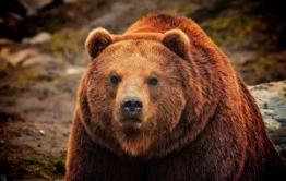 Медведь и ягода — помощники убийц