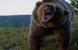 В Монголии медведь сожрал мужчину и закопал ребенка