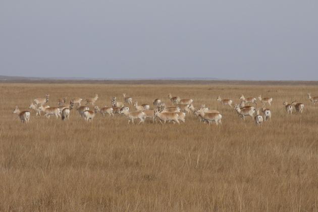 Дзерены бегут из Монголии в Забайкалье из-за продолжительной засухи