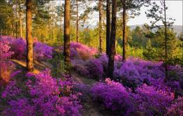 Где-то на сопках багульник цветет…