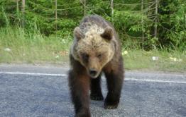 Медведица кидается на машины в Кыринском районе - соцсети