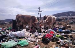 Коровы научились перерабатывать мусор в Вершино-Дарасунском