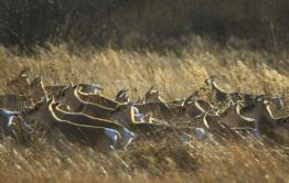 Началась повторная миграция дзеренов из Монголии в Забайкалье