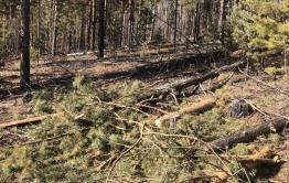 За неделю в Забайкалье выявили семь случаев незаконной рубки леса