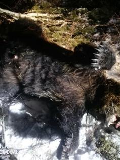 Один из застреленных в Мензе мишек. А куда деваться? Они то и дело выходят к людям и давят скот, разоряют зимовья. Фото местных жителей.
