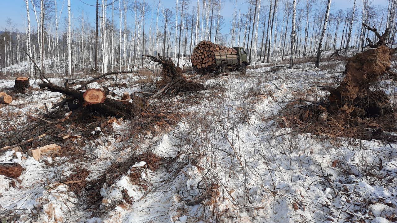 Читатели «Вечорки» отправили фото из Сивяковского лесничества, где воруют лес