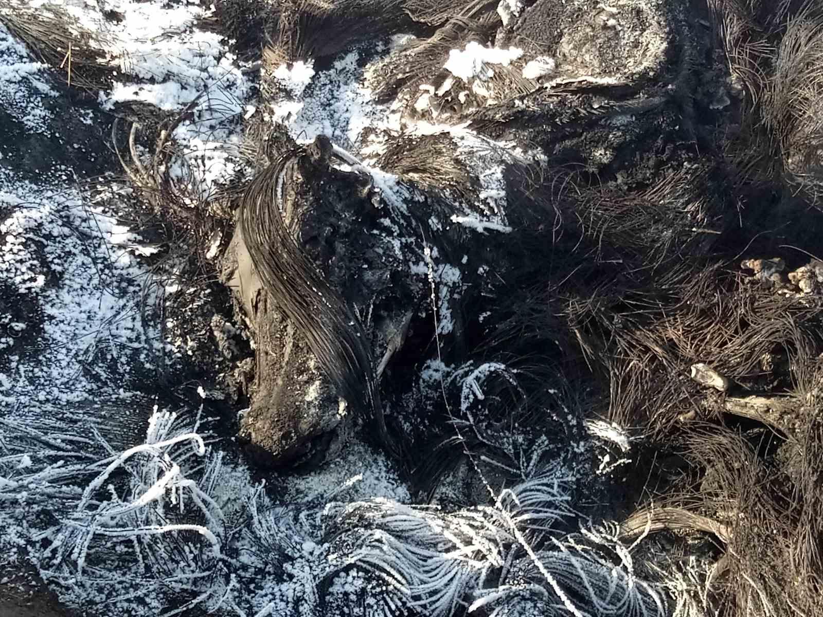 Приаргунский район. Останки сожженного животного, зараженного ящуром. 9 февраля 2020г.