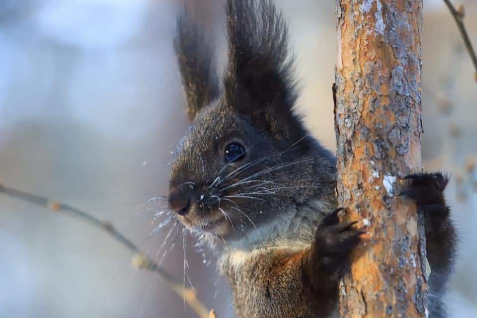 Черная симпатичная белочка из читинского леса. Фото Виктории Михайлюк.