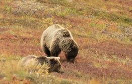 Медведь снова вышел к Смоленке