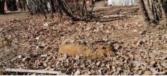 Первые подснежники в Чите. Дохлый пёс, присыпанный осенней листвой, в самом центре города по ул. Чкалова, 76. Но на дворе не осень, а апрель.